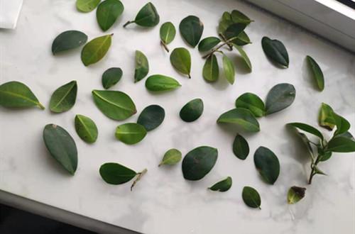 新买的榕树掉叶子还长褐色斑,是怎么回事?