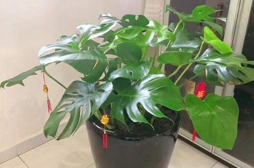 龟背竹只有一个叶子总是不裂瓣是什么原因?