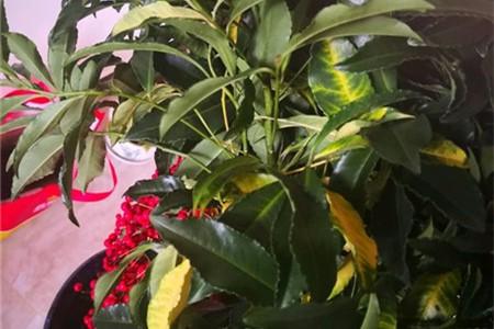 富贵子叶子发黄是什么原因?受这五个原因影响,及时对症下药!