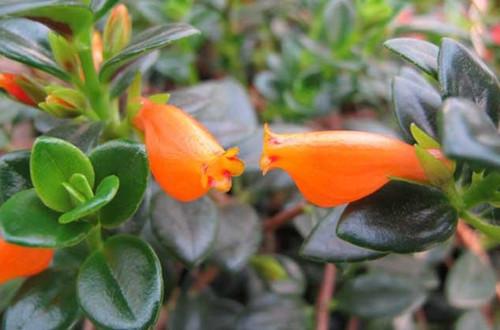 金鱼吊兰叶子发黄是怎么回事?处理及时,植株迅速恢复!