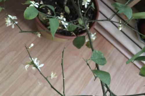 柠檬树叶子少的可怜是怎么回事?注意这3点,就能多长叶子!
