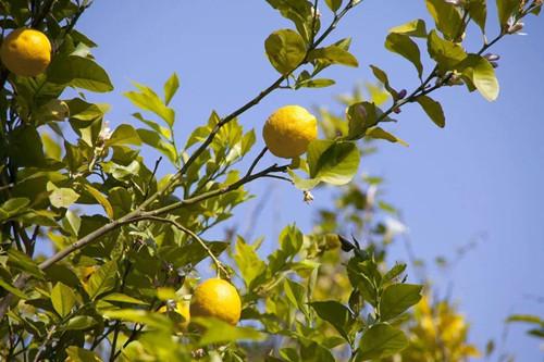 盆栽柠檬树叶子发黄怎么办?检查是不是这七个原因引起的!