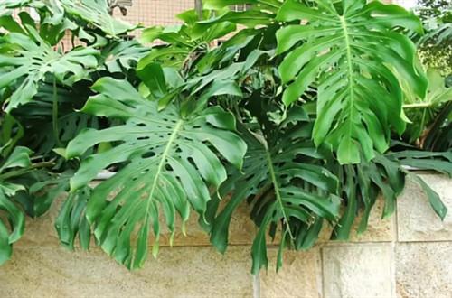 网购回来的龟背竹上盆后叶子有些耷拉,要怎么办?