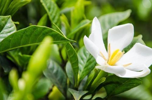 春天给栀子花施肥了吗?做好了就可以让栀子花快速开花!