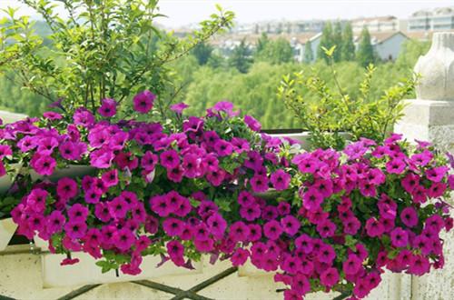 春天赶紧撒把种子,推荐10种花卉,让你阳台变得五彩缤纷!