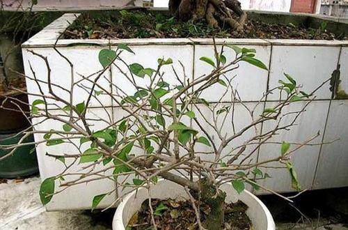 植物冬天落叶到现在还不长叶,怎么办?怎么判断植物是否已经死亡