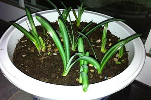 石蒜怎么种植?注意这几项种植事项,就能轻松养好!