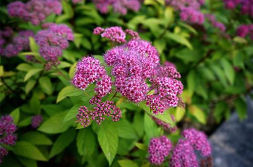 绣线菊怎么养护?注意这六点养护方法,花就开得多!