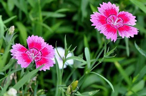 石竹花种子什么时候播种?选这季节撒下一粒种子,可以收获一盆!