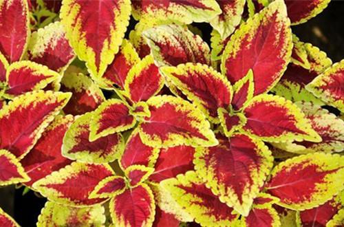 彩叶草哪个时候可以换盆呢?上盆后要怎么养护呢?