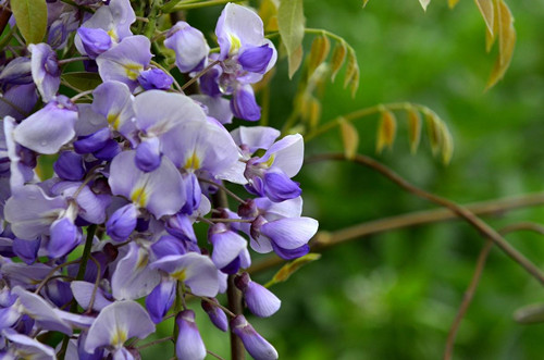 紫藤花什么时候开花?开花少怎么办?