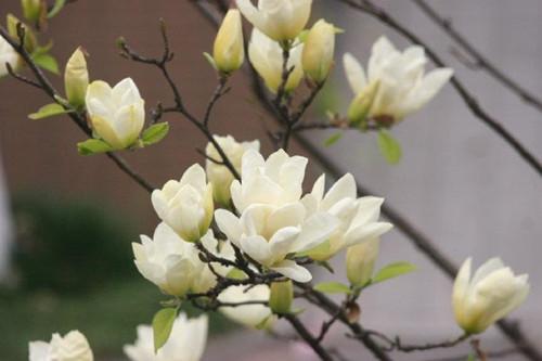 白玉兰如何修剪?注意修剪细节,就可以在夏季不断地开花!