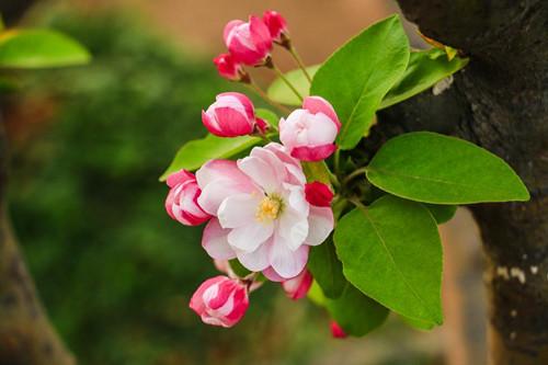海棠花叶子发黄掉落是啥原因?别忽略了这五点原因!