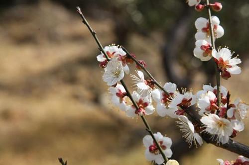 梅花要怎样种植?梅花要怎么养护才能长得好?