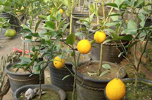 柠檬树要合理修剪,有利于发侧枝和开花结果!