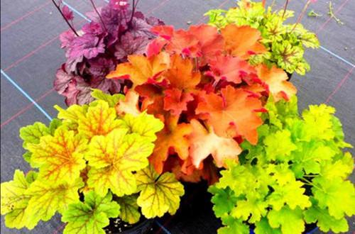 北方耐寒常绿植物有哪些?看北方花友的推荐!
