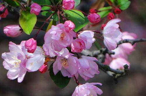海棠有花骨朵了上什么肥好呢?做好了,花就能开得多!