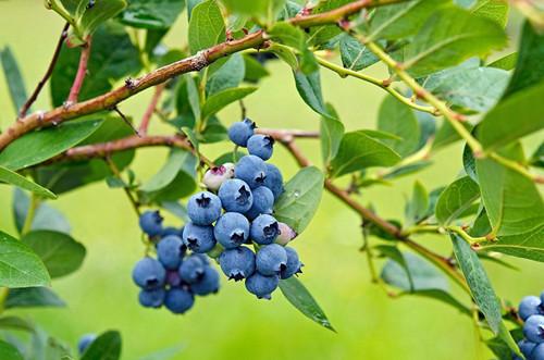 蓝莓养多长时间会开花?几年能结果?你关心的问题都在这里!