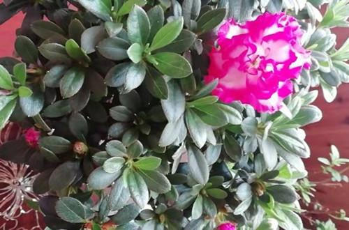 杜鹃花苞不开花是怎么回事?还有一些花苞没有开。