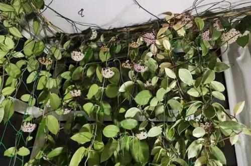 球兰花还能这样养,长了满满的一面墙,看花友的分享!