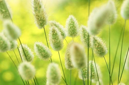 样子超级可爱的兔尾草怎么养护?