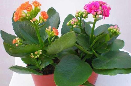 长寿花一年开几次花?修剪后还能再开花吗?要怎么促进开花呢?