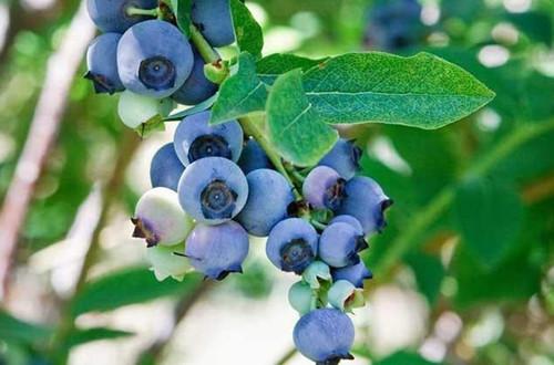 蓝莓盆栽要用什么土好?把握住关健点,配土不再难!