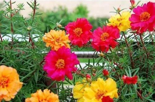 怎么让太阳花多开花?注意这几点养护方法,就能多开花!