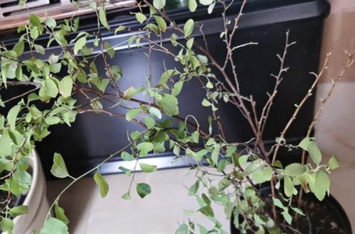 绣线菊半死不活的,叶子发黄快掉完了,怎么救?