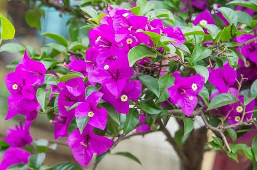 扦插的三角梅枝条苗条,只有几个细衩,怎么养才能多开花!