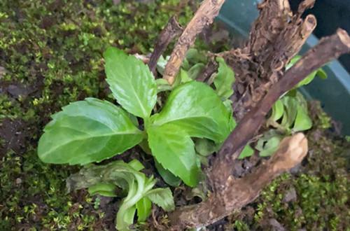 刚种下的绣球花好不容易长出新芽,可是快死了怎么办?