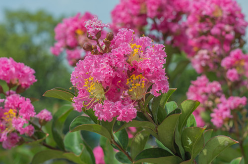 地栽紫薇花不开花怎么回事?有可能是这四个原因引起的!