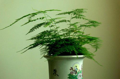 文竹叶子不绿怎么办?可以这样做,不用多久就能恢复!