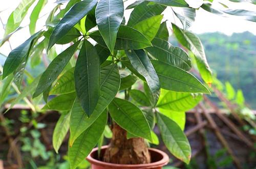 发财树只长叶子,不长个头怎么回事?