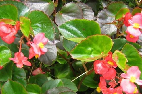 秋海棠这样养护,就能花开不断!