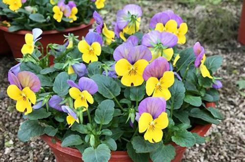 角堇花后要这样养护,就能多次开花!