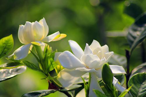 小叶栀子花为什么花苞长大还没开碰下就掉了,是缺什么营养吗?