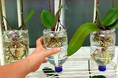 蝴蝶兰还可以用水培的方法来养殖,赶紧来试试!