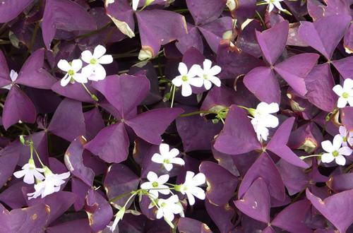 紫叶酢浆草叶子枯萎是什么原因?有可能是这四个原因!