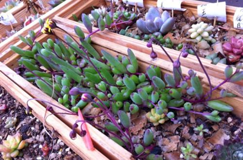 紫玄月这样养护?植株长得好,还容易爆盆!
