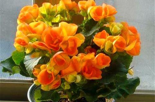 丽格海棠为什么光长叶子就是不开花?