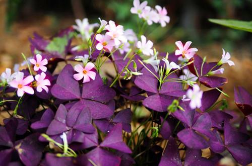 紫叶酢浆草怎么换盆?可以选在这个季节换盆,成率会提高!
