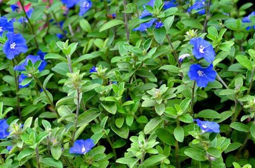 要怎么养护才能养出最美的蓝星花?