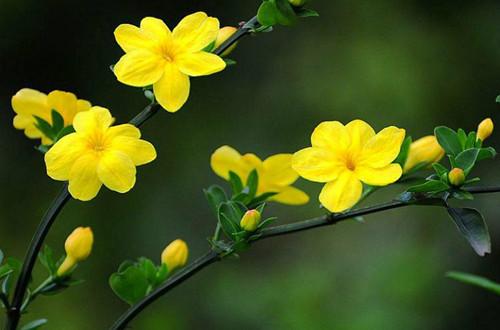 迎春花枝条长得很快,但就是不开花,这是为什么呢?