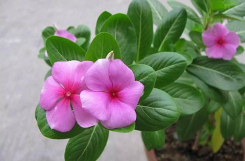 长春花的花期在几月份?如何养护才可以开花更多?