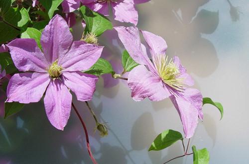 铁线莲用合理的修剪方法,就能够保证春季开花开得好!