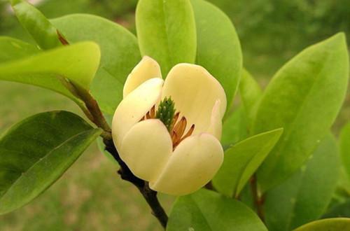 含笑哪个时候开花?为啥只有一点点花菇朵?不开花是啥原因?