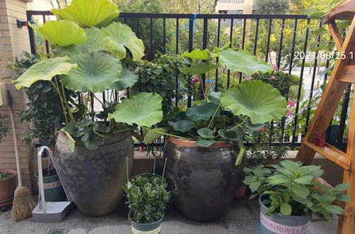 盆栽荷花冬季怎么保存种藕?搬不动大缸的,可以试试这三种方法!