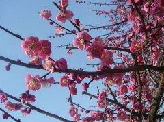 怎样预防梅花被虫害