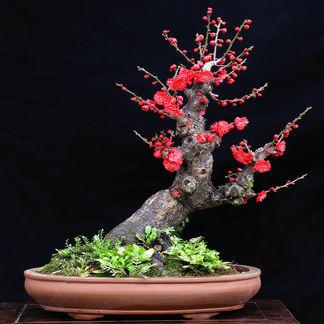盆栽梅花养殖技术及如何防病虫害(2)